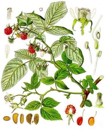 Framboos___Rubus_idaeus