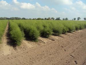 aspergevelden