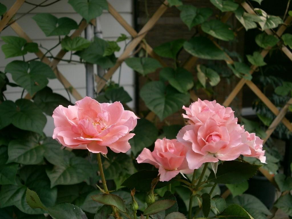 rose-173441_1280